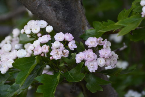 Toba Hawthorn Flower Close Up