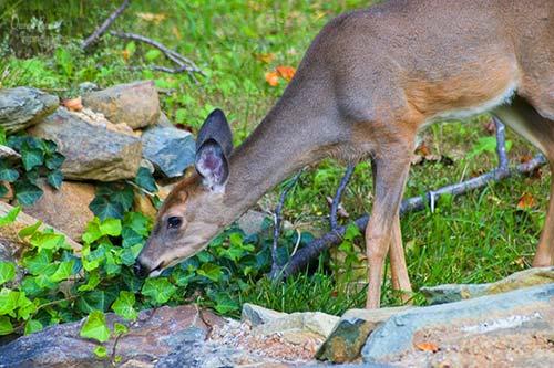 deer eating ivy