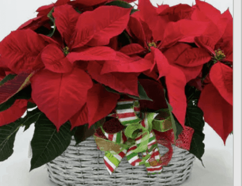 Pick Up Poinsettias at Pugh's or Have Them Delivered for Poinsettia Day!