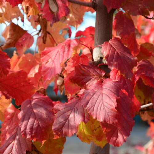 Hot Wings Maple Fall Colours