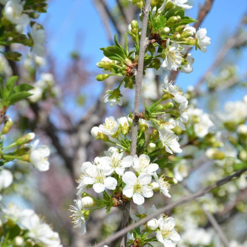 Romeo Cherry Tree Flower Close Up