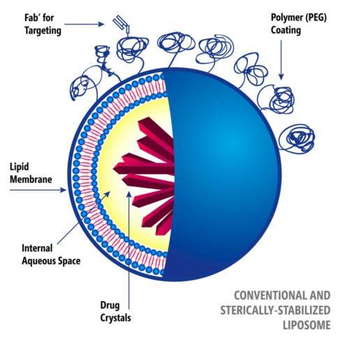 The sphere of phospholipid molecule