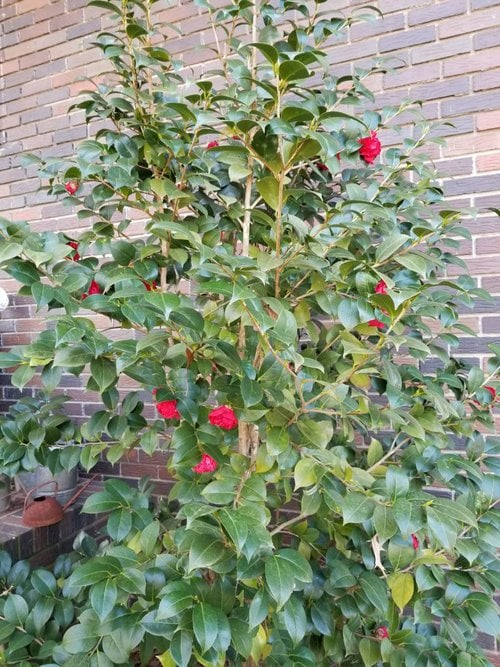 Camellia with red flowers blooming in February