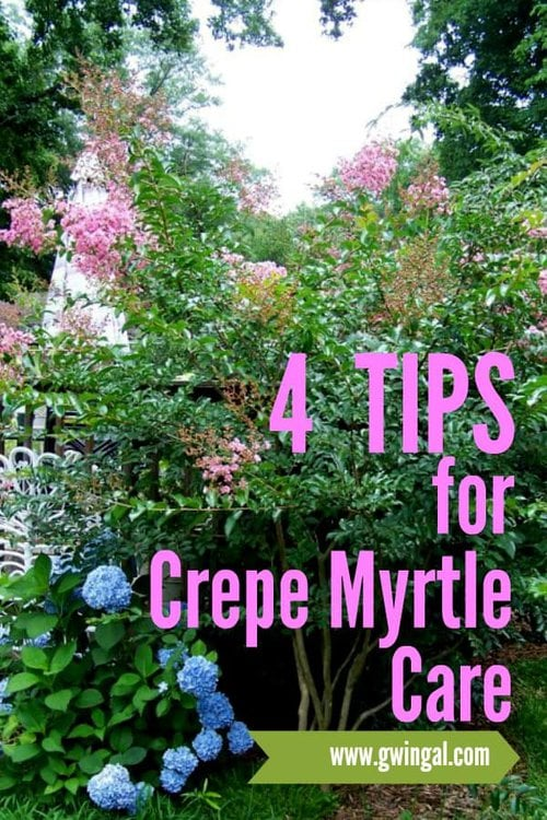 Pink Crepe Myrtle with blue hydrangea beneath