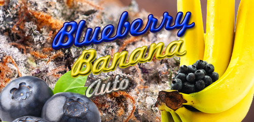 Auto Blueberry Banana