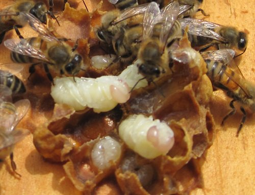 varroa mites on drone brood a quick way to check mite levels
