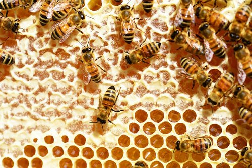 Bees capping honey for harvest.