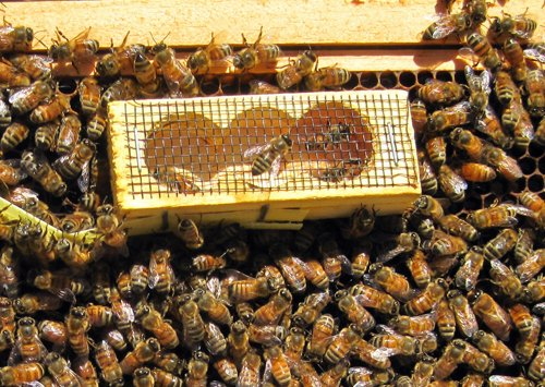 Queen bee fact: Beekeepers introduce a new queen in a specialized cage. - Carolina Honeybees