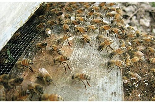 Worker bees attracting a honey bee swarm into new hive. Bee swarms are a profitable way to increase beehive numbers for a beekeeper.