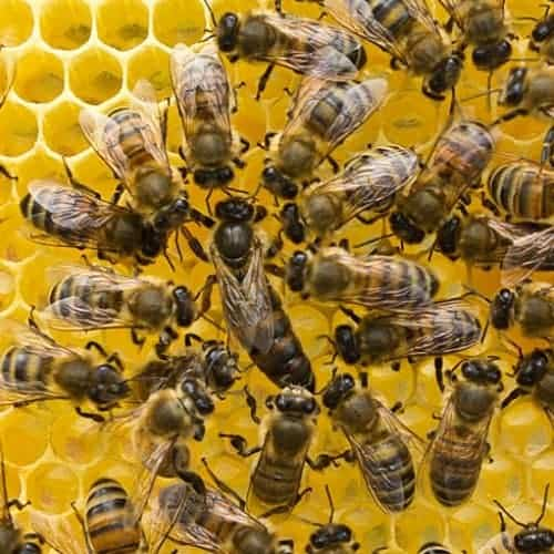 The queen bee life cycle is the same 4 stage life cycle as any insect.