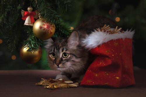 Holiday Stress for Pets - Cats