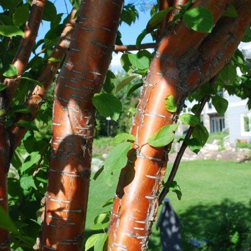 Amur Cherry Bark Close Up