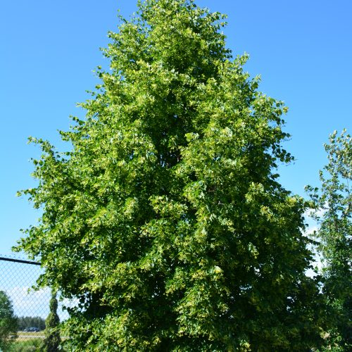 Dropmore Linden Tree in Flower