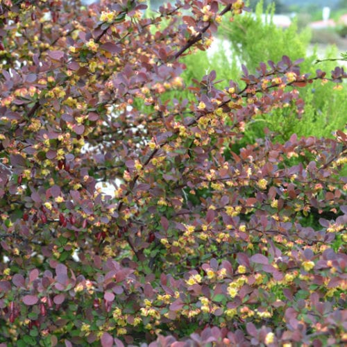 Ruby Carousel Barberry Foliage Close Up