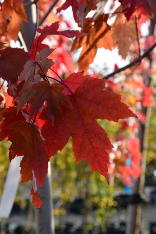 Autumn Blaze Maple Fall Colours