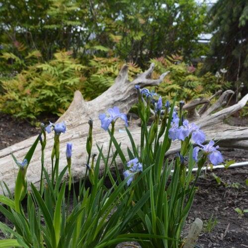 Dwarf Artic Iris in Flower