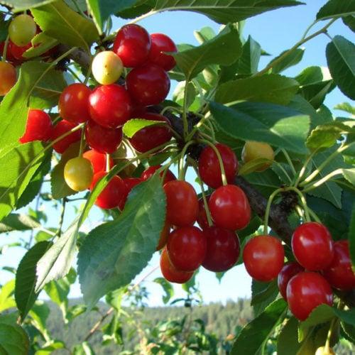 Evans Cherry Fruit Close Up