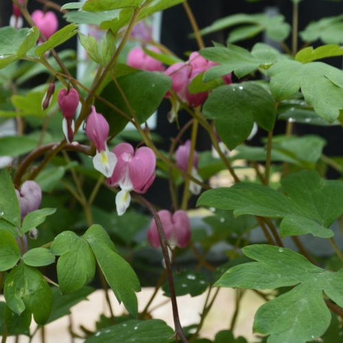Old Fashioned Pink Bleeding Heart Flower Close Up