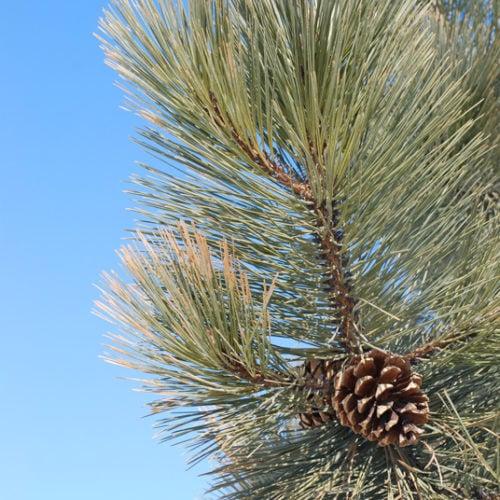 Ponderosa Pine Needles Close Up