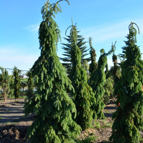 Weeping White Spruce Full Tree