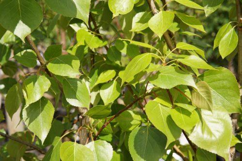 Balsam Poplar Leaves