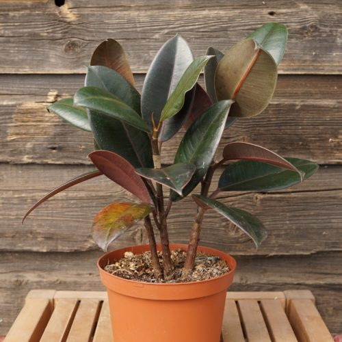Rubber plant overview