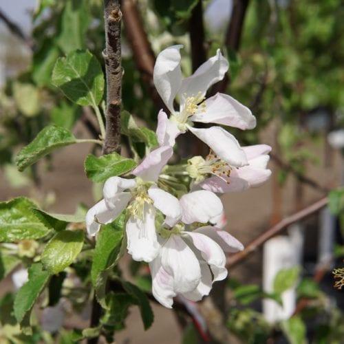 Harcourt Apple Bloom