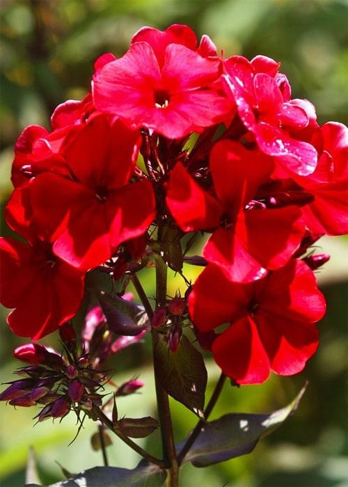 """Цвет - ярко красные с малиновым отливом Диаметр цветка - 3,5 см Высота стебля - 60 - см Время цветения - июль- август Класс - метельчатый Флокс """" Adessa Red"""