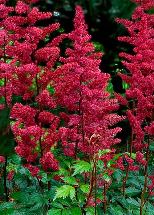 Астильба Арендса Burgundy Red