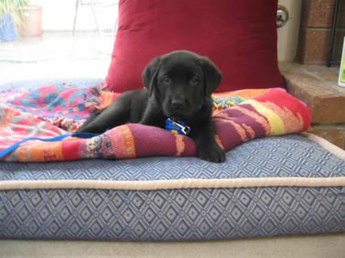Black Labrador Retriever Puppy - Stetson