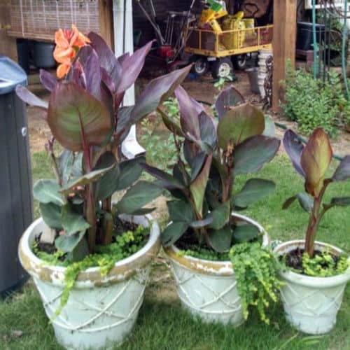 Three pots of canna lilies with orange blossoms