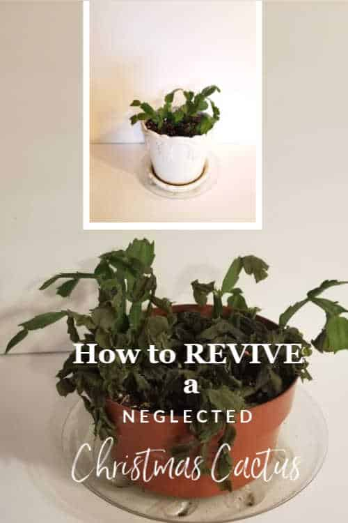 How to revive a near dead Christmas Cactus and how to propagate Christmas Cactus to make new plants