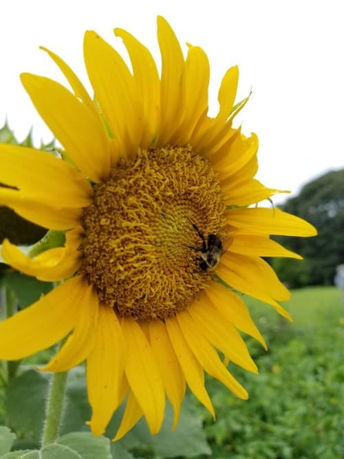 Huge yellow sunflower with bee