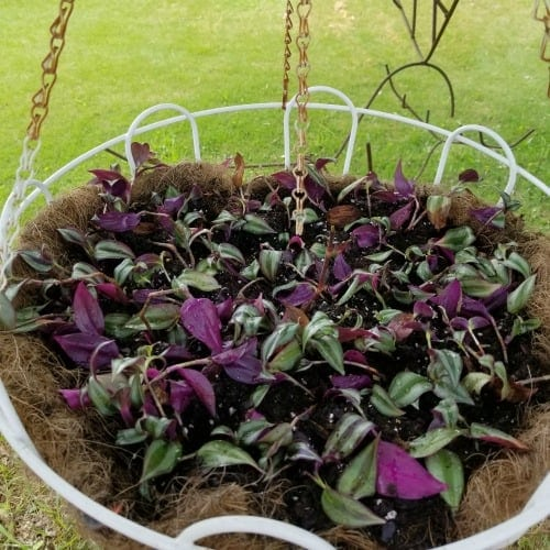 Rejuvenating Wandering Jew