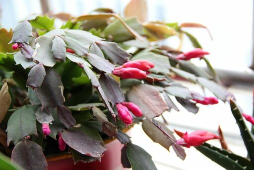 best fertilizers for christmas cactus