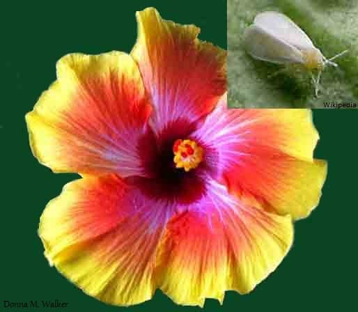 Hibiscus flower and whitefly
