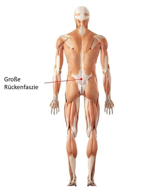 Die große Rückenfaszie wird heute als einer Hauptursachen für unspezifische Rückenschmerzen angesehen.