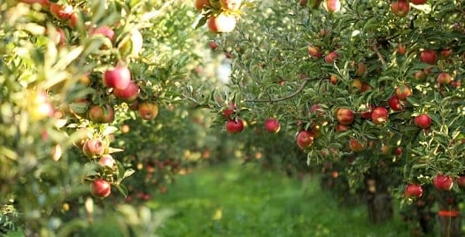 Best trees for honey bees - Apple Trees
