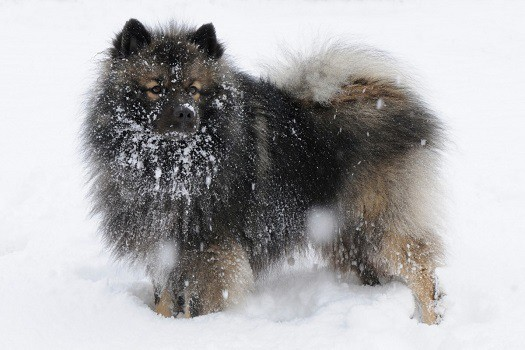How to identify dog dandruff seborrhea white flakes in under fur hair