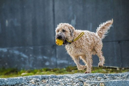 How intelligent are golden doodles easy to train fun to play with