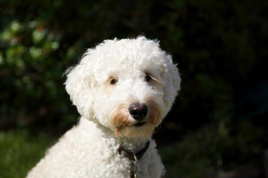 Labradoodle hypoallergenic low shedding dog curly hair poodle hybrid