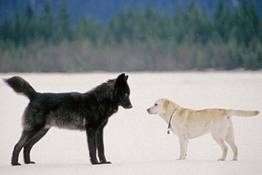 wolf_romeo_labrador