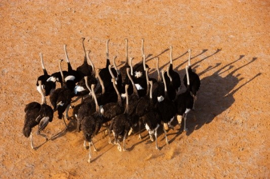 Image: a flock of ostriches casts long shadows on the sand