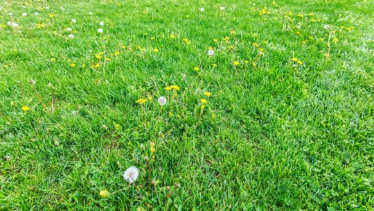 Prevent Lawn Weeds
