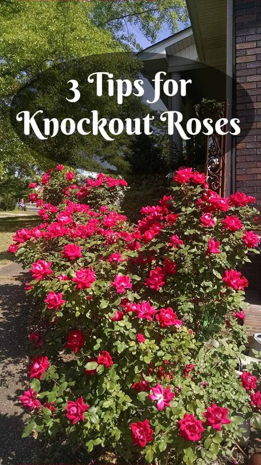 3 Care Tips for Knock Out Roses