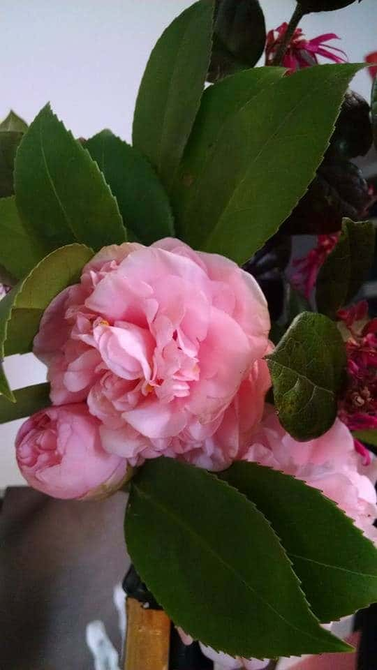 Winter Blooming Pink Camellia