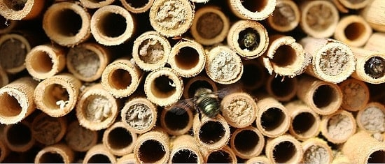 Mason Bees Building with Mud Resin