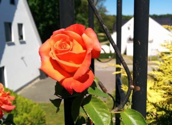 Ferienhaus Garten Rose