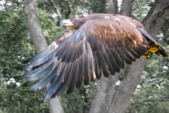 Image shows a juvenile bald eagle take flight and return to the wild.