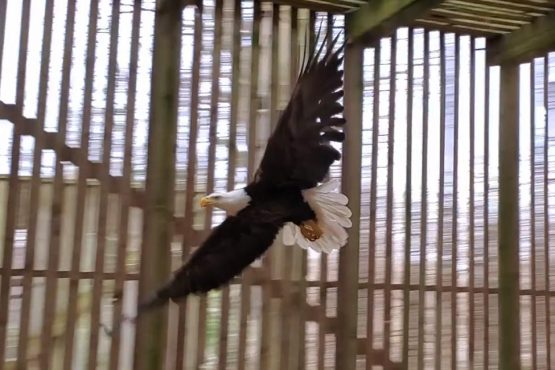 Injured Bald Eagle flies inside our flight cage with wings spread wide open.